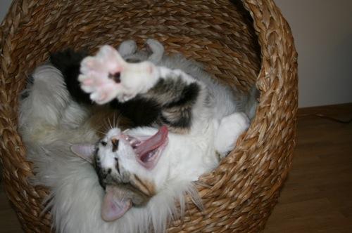 Katzen zieh'n Fratzen